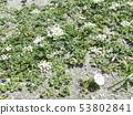 갯메 꽃과 갯 방풍 꽃 53802841