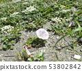 갯메 꽃과 갯 방풍 꽃 53802842