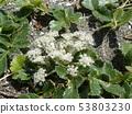 갯 방풍 꽃 53803230
