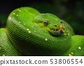 Green tree python (Morelia viridis) close up 53806554