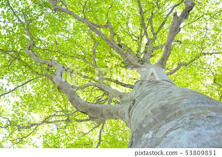 Fresh green beech forest 53809851