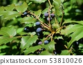 Heiraginanten的果實 53810026