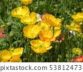 冰島罌粟黃色花 53812473
