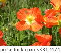 冰島罌粟的橙花 53812474