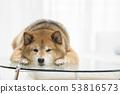 可愛的柴犬 53816573