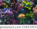 Clown Fish 53833959