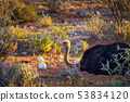 Ostrich guarding its eggs in the Kalahari desert of Namibia 53834120