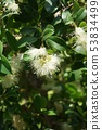 부시 체리 꽃 53834499