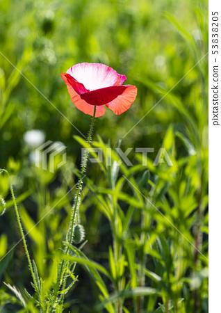 꽃양귀비 53838205