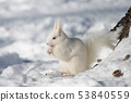 白化白松鼠(北海道) 53840559