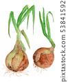 Allium cepa 양파 53841592