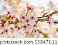 ดอกซากุระในนารา 53847011