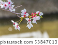 ดอกซากุระในนารา 53847013