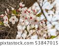 ดอกซากุระในนารา 53847015
