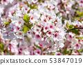 ดอกซากุระในนารา 53847019