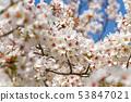 ดอกซากุระในนารา 53847021