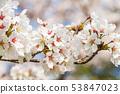 ดอกซากุระในนารา 53847023