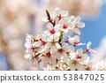 ดอกซากุระในนารา 53847025
