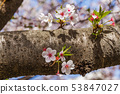 ดอกซากุระในนารา 53847027