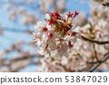 ดอกซากุระในนารา 53847029