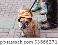 Bulldog in funny orange panama hat. Dog on a leash 53866271