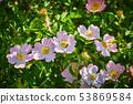 Dog rose (rosa canina) flowers in springtime 53869584