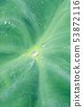 토란 잎 위를 구르는 물방울 (물방울) 53872116