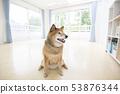 ห้องปูพื้นและ Shiba Inu 53876344