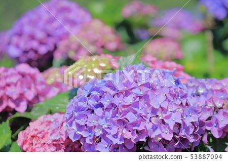 繡球花,開花,花 53887094