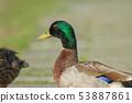 綠頭鴨,鴨子,鳥 53887861