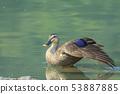 綠頭鴨,鴨子,鳥 53887885