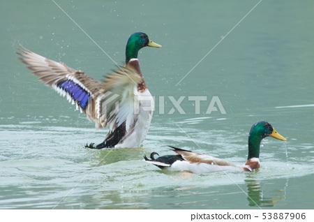綠頭鴨,鴨子,鳥 53887906
