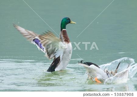 綠頭鴨,鴨子,鳥 53887908