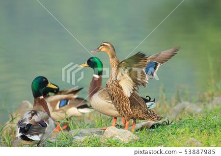 綠頭鴨,鴨子,鳥 53887985