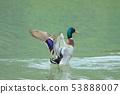 綠頭鴨,鴨子,鳥 53888007