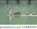 綠頭鴨,鴨子,鳥 53888080