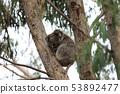 Koala, Phascolarctos cinereus, resting 53892477