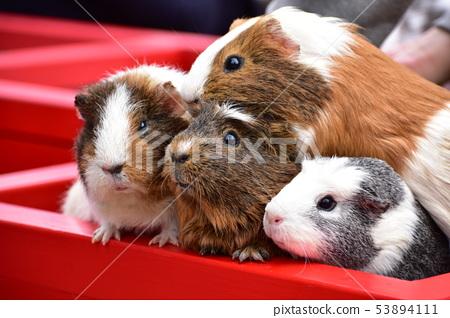豚鼠 53894111