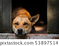 Sad view of an alone brown dog lying in the kennel - an old wooden house 53897514
