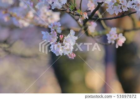 櫻花,東方寺,吉野櫻 53897872