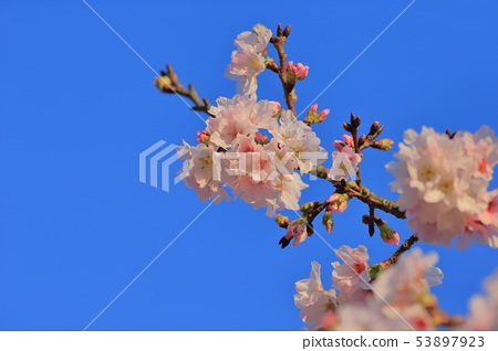 櫻花,東方寺,吉野櫻 53897923