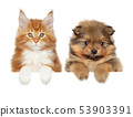 Spitz and Mainecoon above banner 53903391