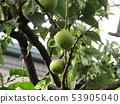 ผลไม้ลูกพลัมขนาดใหญ่เป็นผลไม้ Kaga 53905040