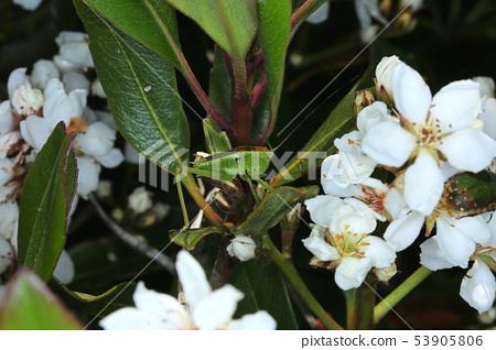 Yabkiri幼蟲,樹昆蟲 53905806