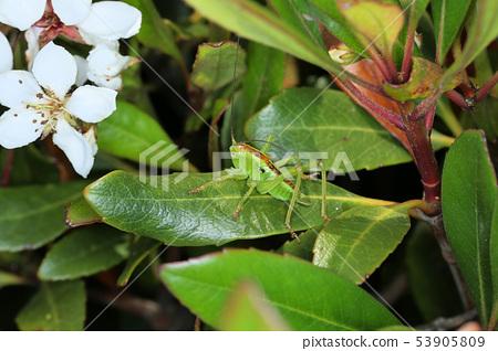 야부키리 유충, 나무 위의 곤충 53905809