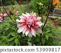桃紅色大花是大麗花花 53909817