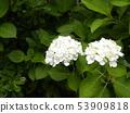 在一朵大美麗的花八仙花屬的白花在雨季 53909818