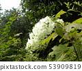 橡木繡球花的白花,其葉子與桑葉相似 53909819