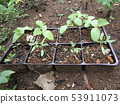 Tomato and cucumber seedlings to be planted soon 53911073