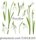 Snowdrop Flowers Collection Background 53918165